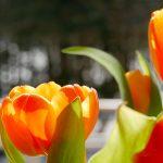 Tulipe Orange 1