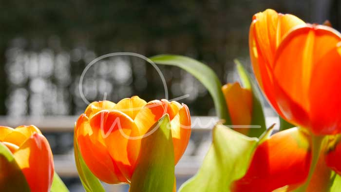Tulipes Orange 1