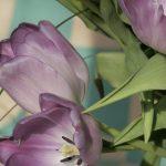 Tulipe Mauve 3