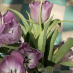Tulipe Mauve 4