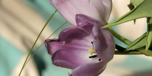 Tulipe Mauve 5