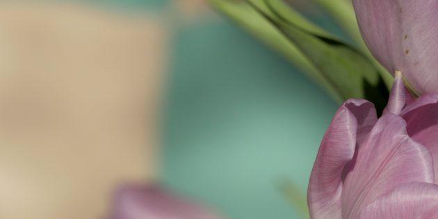 Tulipe Mauve 6