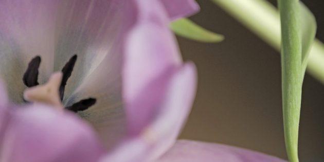 Tulipe Mauve 7