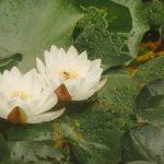 Pond Lilys